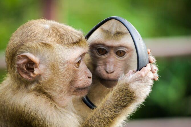 鏡に移った自分を見る小猿