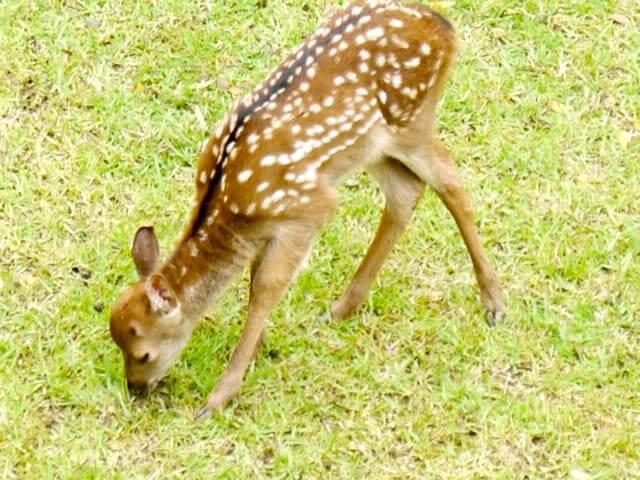 仔鹿の写真
