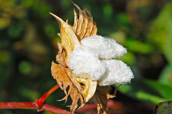 スビンコットンの綿花